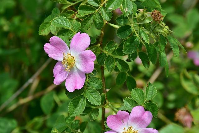 Wild rose rosa acicularis boreal forest medicinal plants
