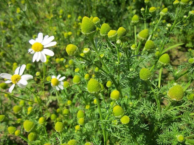 Wild chamomile matricaria discoidea boreal forest medicinal plant