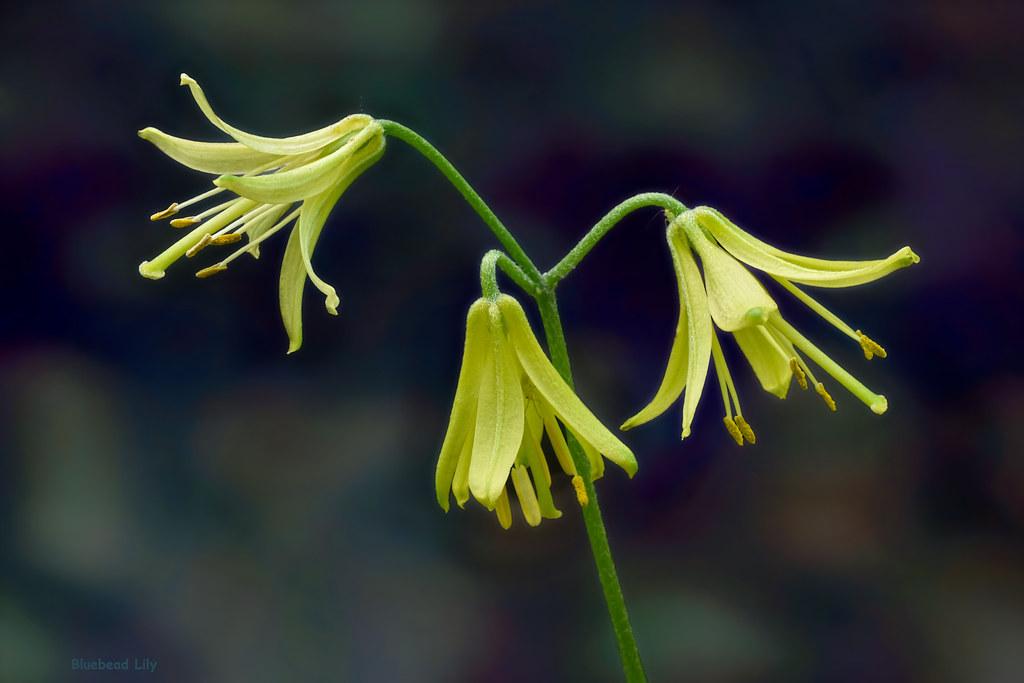 threeleaf goldthread coptis trifolia boreal forest medicinal plant