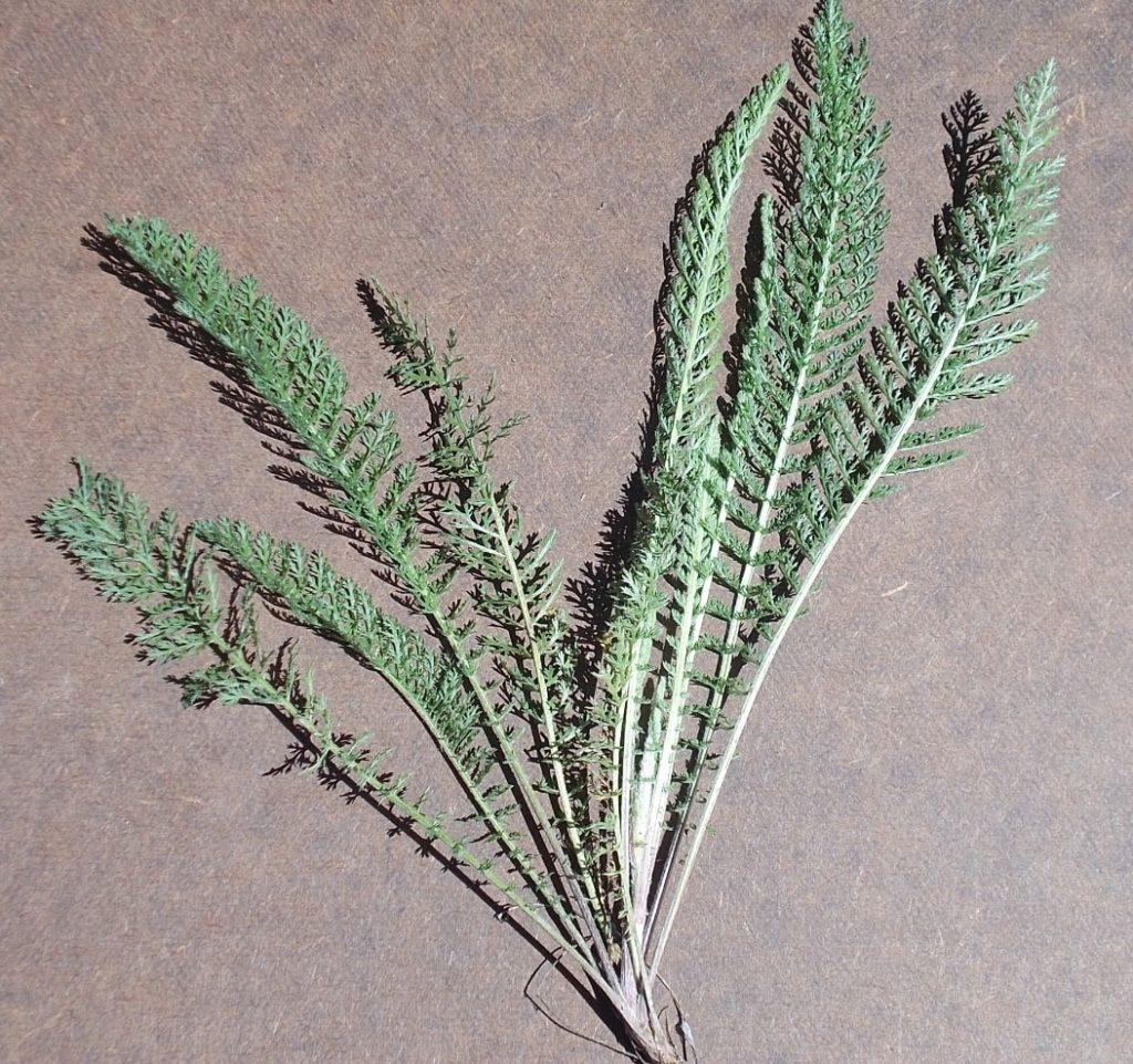 common Yarrow achillea millefolium boreal forest medicinal plant