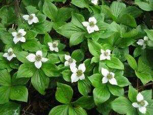 Bunchberry cornus canadensis boreal forest medicinal plants
