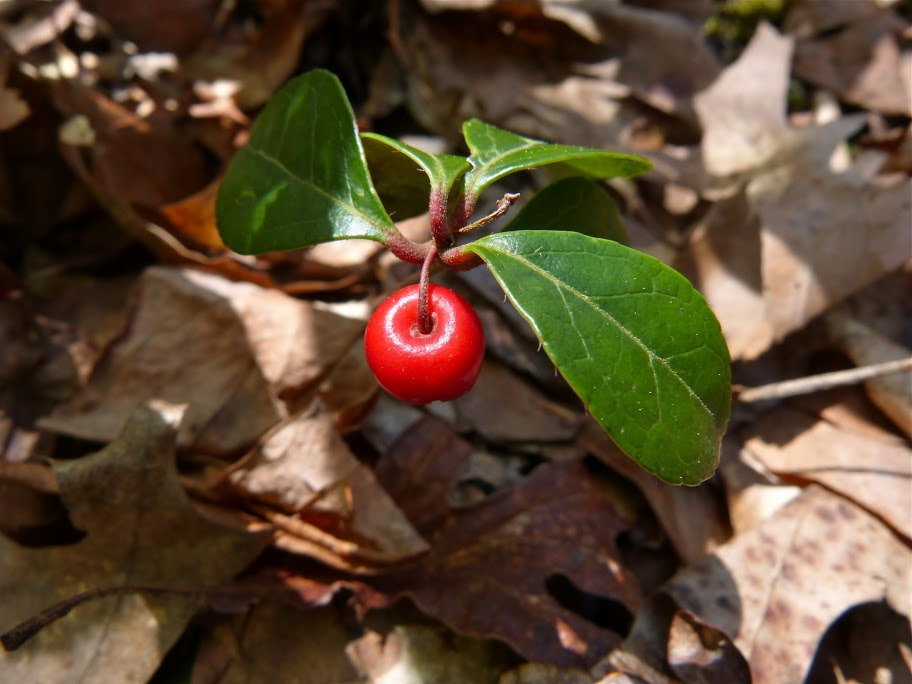 eastern teaberry gaultheria procumbens boreal forest medicinal plant