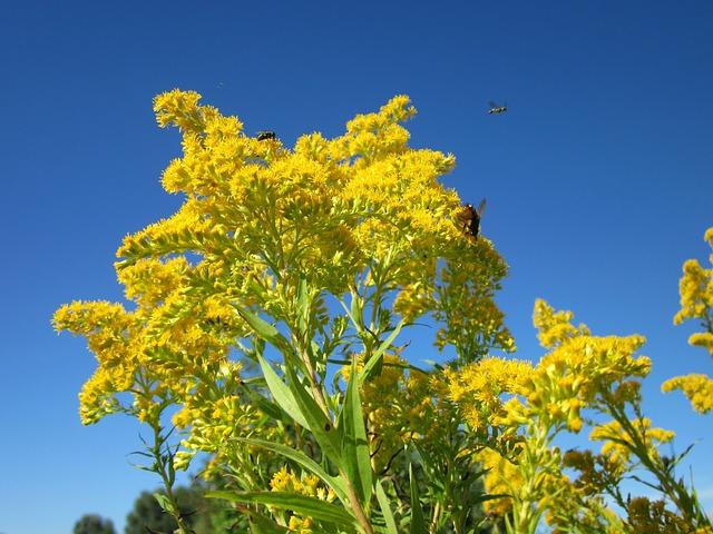 canada goldenrod solidago canadensis boreal forest medicinal plants