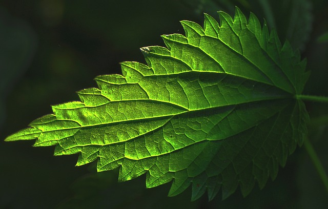 stinging nettle urtica dioica boreal forest medicinal plant