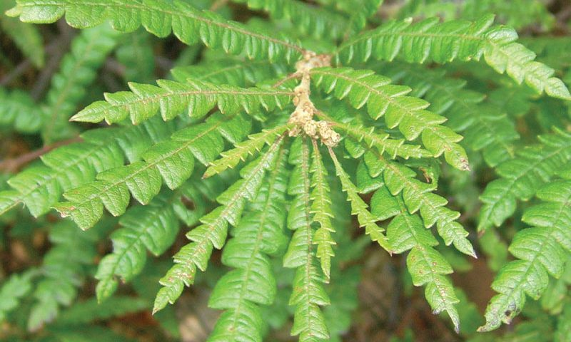 sweetfern comptonia peregrina boreal forest medicinal plants