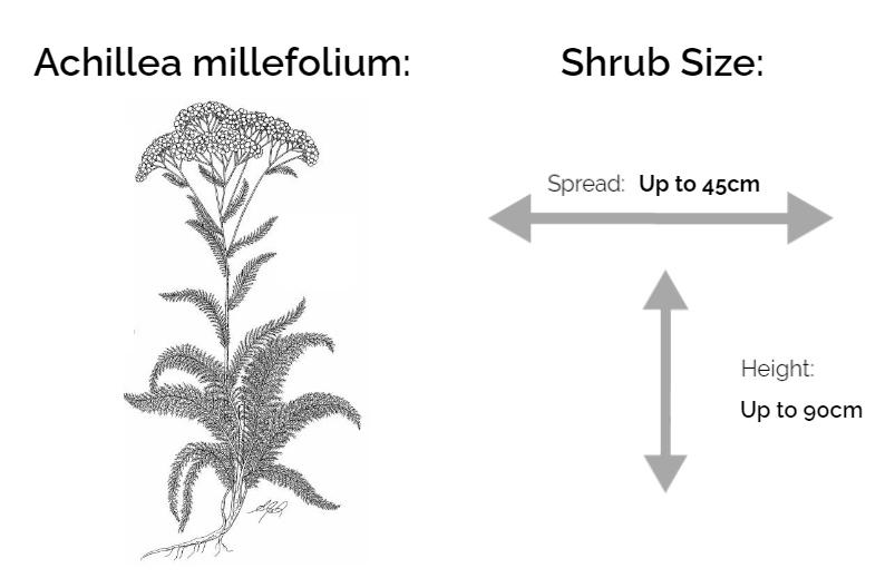 achillea millefolium information chart drawing