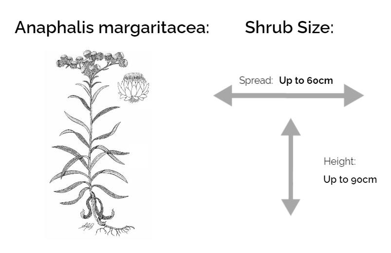Anaphalis margaritacea information chart drawing