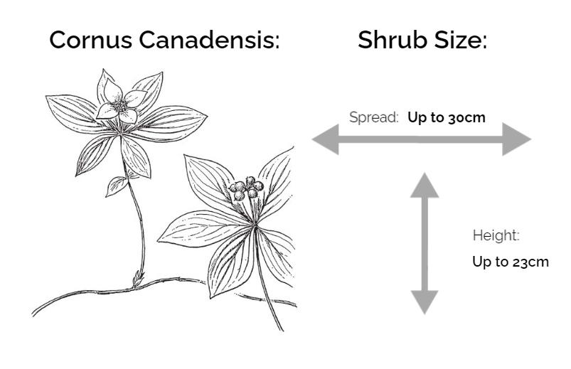 cornus canadensis information chart drawing