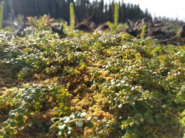 Creeping snowberry gaultheria hispidula boreal forest medicinal plant