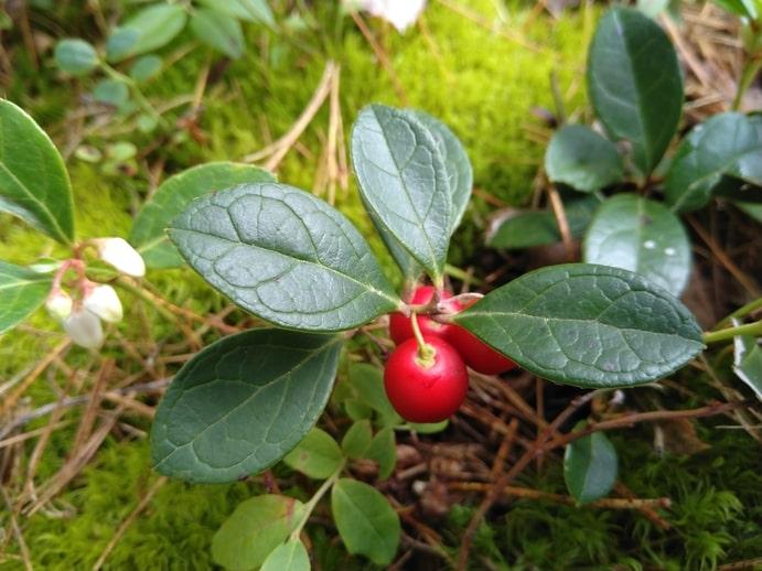 Eastern Teaberry - Gaultheria Procum