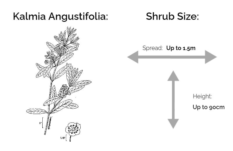 kalmia angustifolia information chart drawing