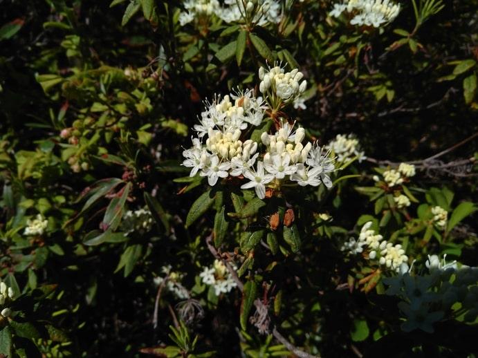 Labrador Tea Flowers - Rhododendron groenlandicum - Boreal Forest Medicinal Plant