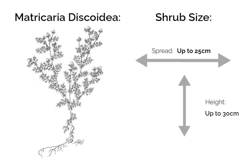 matricaria discoidea information chart drawing