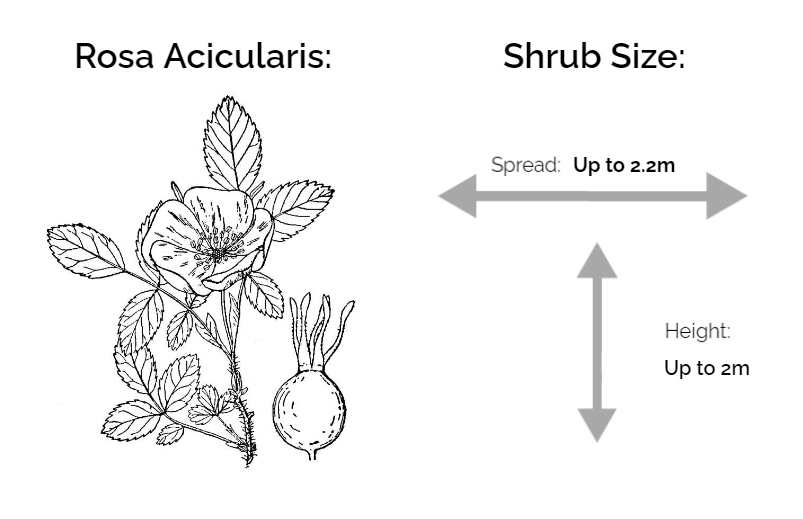 rosa acicularis information chart drawing