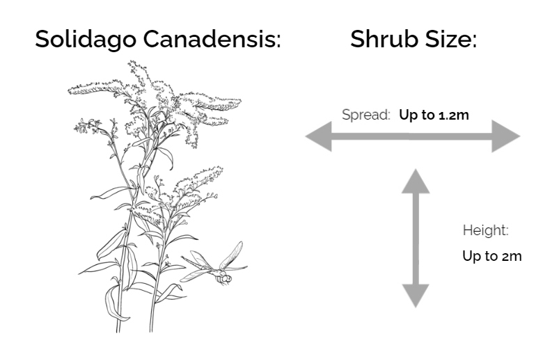 solidago canadensis information chart drawing