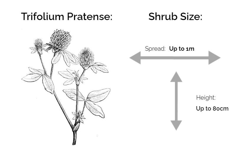 trifolium pratense information chart drawing