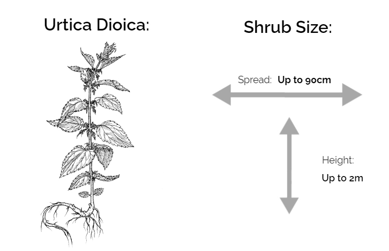 urtica dioica information chart drawing