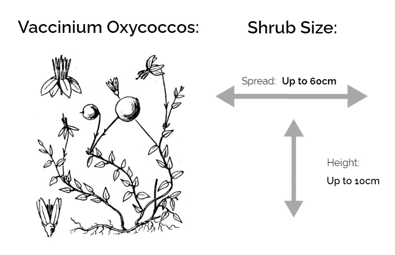 Vaccinium oxycoccos inforrmation chart drawing