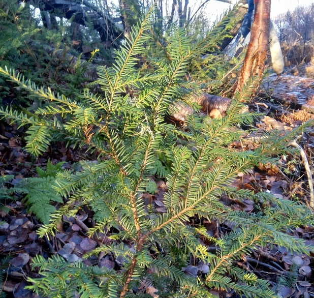 Canada yew taxus canadensis boreal forest medicinal plant