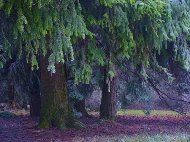 Balsam-Fir-Borea-Forest-Medicinal-Tree-2