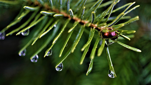 Balsam-Fir-Boreal-Forest-Medicinal-Tree-Close-up-Branch