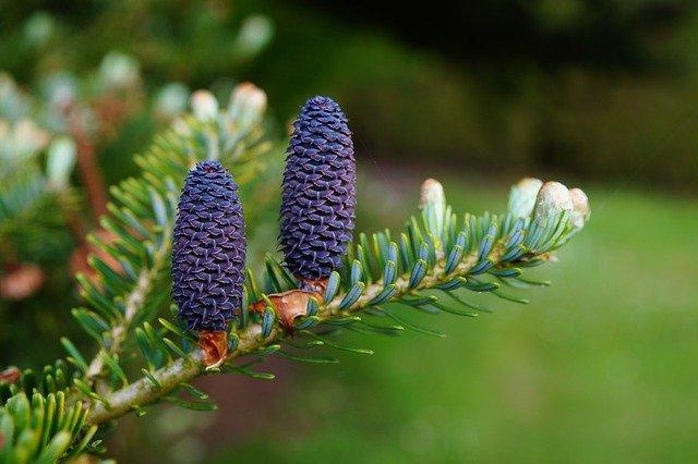 Balsam-Fir-Boreal-Forest-Medicinal-Tree-Cone