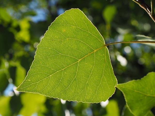 Balsam-Poplar-Populus-balsamifera-Boreal-Forest-Medicinal-Tree-Leaf