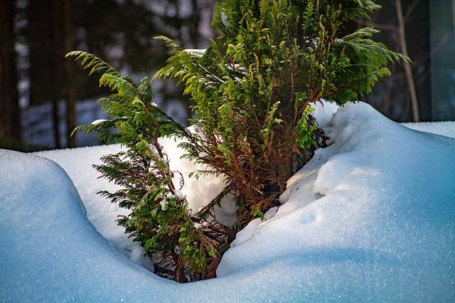 Boreal-Forest-Medicinal-Tree-Thuja-Winter