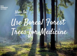How to Use Boreal Forest Trees for Medicine