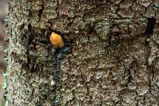 Medicinal-Tree-Spruce-Resin-Bark