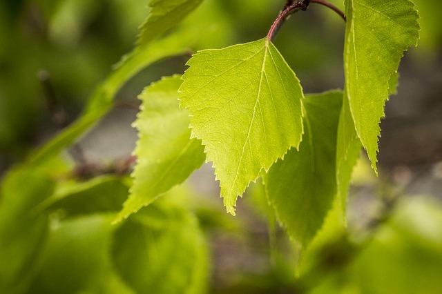 Paper-Birch-Betula-papyrifera-Boreal-Forest-Medicinal-Tree-Leaf