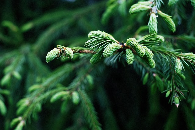 Spruce-New-Growths-Boreal-Forest-Medicinal-Tree