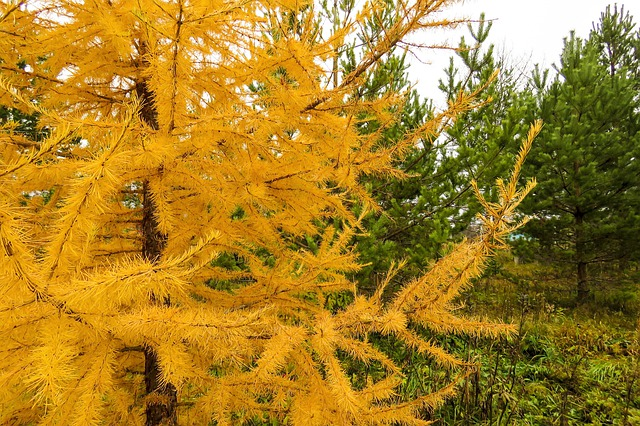 Tamarack-Larch-Larix-laricina-Boreal-Forest-Medicinal-Tree-3