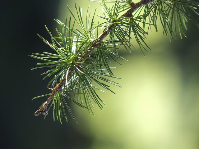 Tamarack-Larch-Larix-laricina-Boreal-Forest-Medicinal-Tree