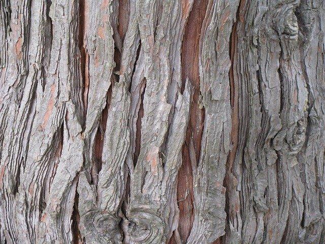 Thuja-occidentalis-boreal-forest-medicinal-tree-bark