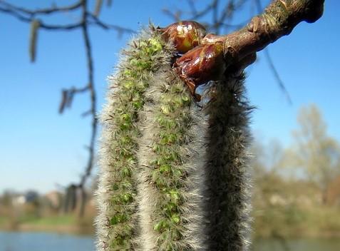 Trembling Aspen (Populus tremuloides) Boreal Forest Medicinal Tree Catkins 2