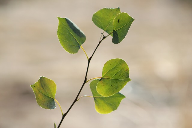 Trembling Aspen (Populus tremuloides) Boreal Forest Medicinal Tree Leaf