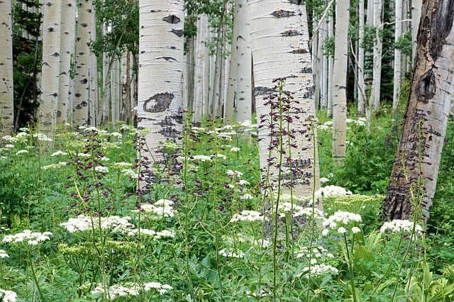 Trembling-Aspen-Populus-tremuloides-Boreal-Forest-Medicinal-Tree