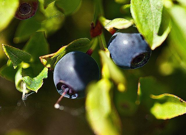 Wild-berries-Blueberry-1