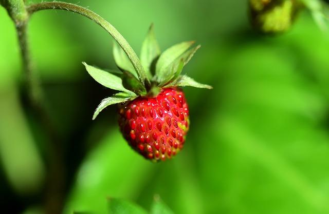Wild-berries-Strawberry