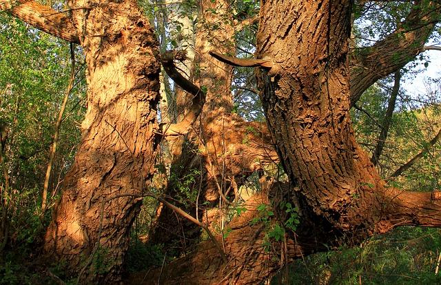 Willows-Salix-sp.-Boreal-Forest-Medicinal-Tree-bark