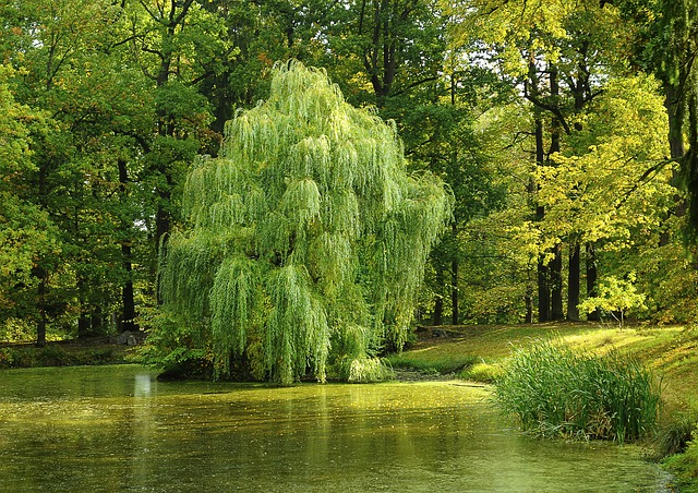 Willows-Salix-sp.-Boreal-Forest-Medicinal-Tree