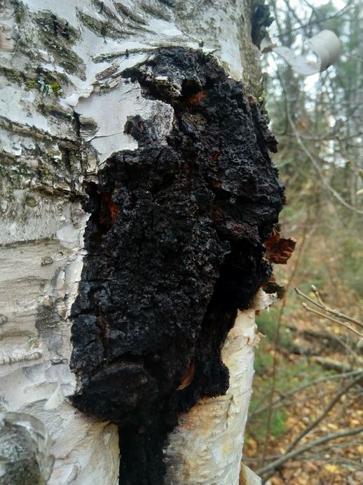 chaga-inonotus-obliquus-Birch-Tree
