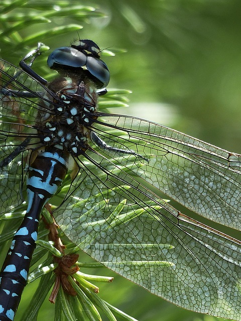 Boreal-Forest-Insect-Dragonfly