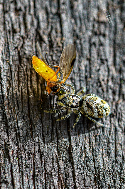 Boreal-Forest-Insect-Jumping-Spider