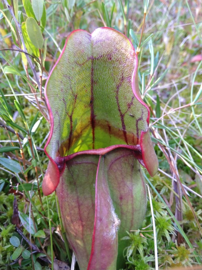 Boreal Forest Plant Carnivorous