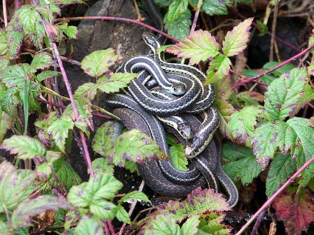 Boreal-Forest-Reptile-Garter-Snake