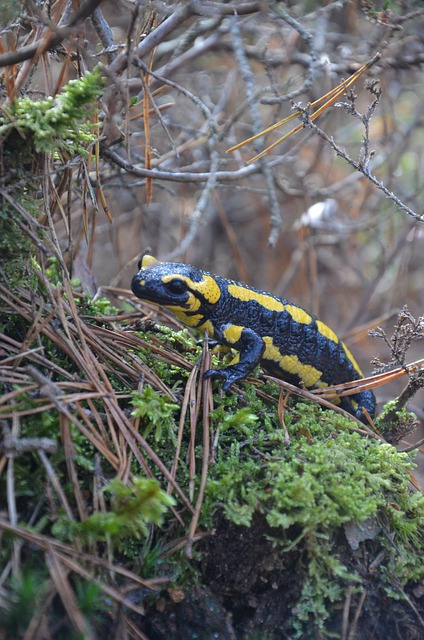 Boreal-Forest-Salamander