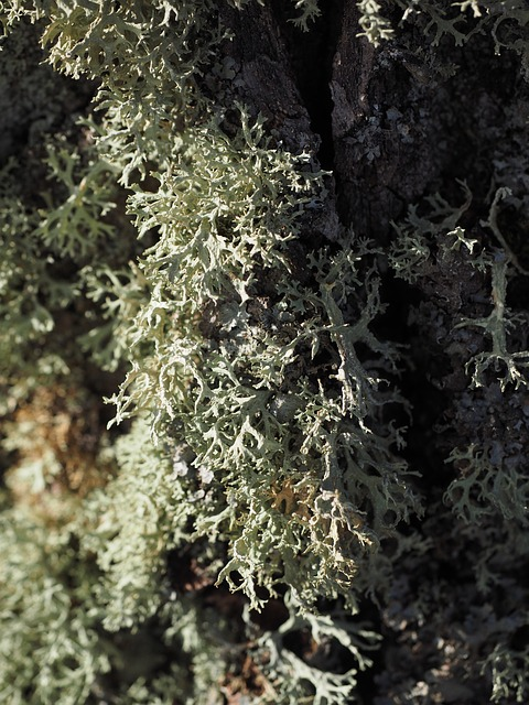 Lichen in the Boreal Forest