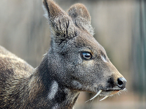 Taiga-Animals-Musk-Deer